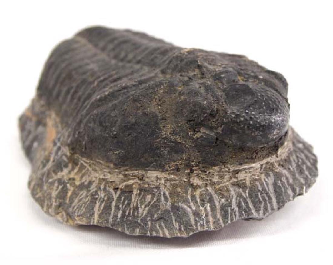Large Trilobite Fossil - 3