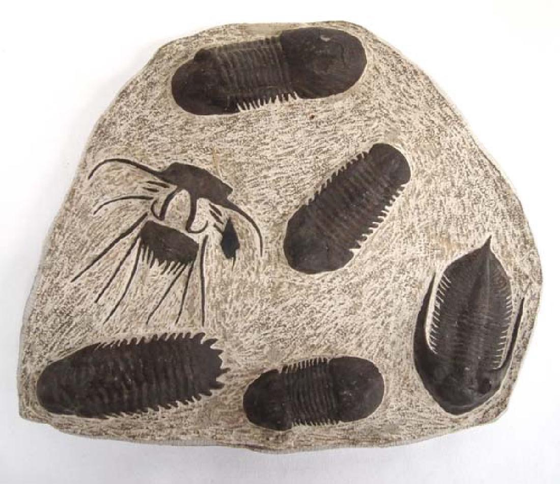 6 Trilobite Fossil Display