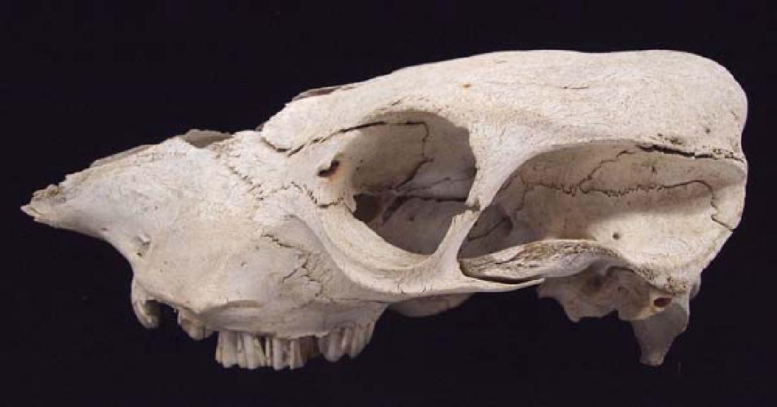 Large Animal Skull