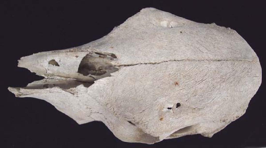 Large Animal Skull - 2