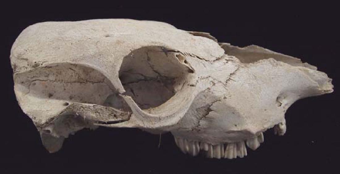 Large Animal Skull - 3