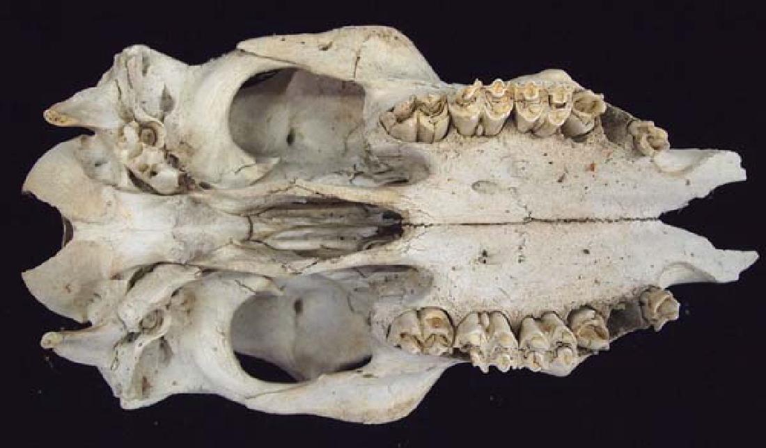 Large Animal Skull - 4