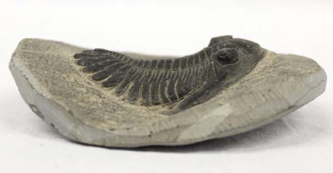 Trilobite Fossil - 2