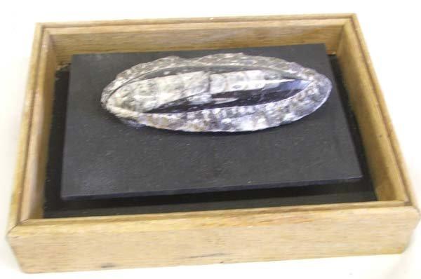 Framed Orthoceras Fossil Specimen 4.5''