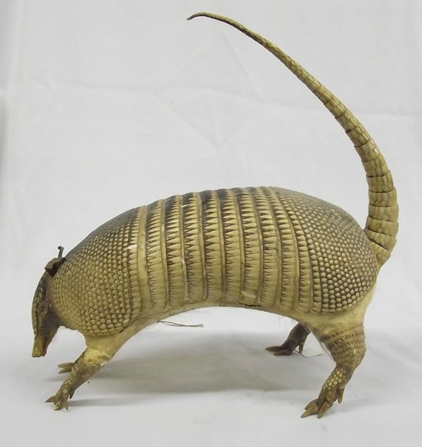 Mounted Full Bodied Armadillo with Tail Up