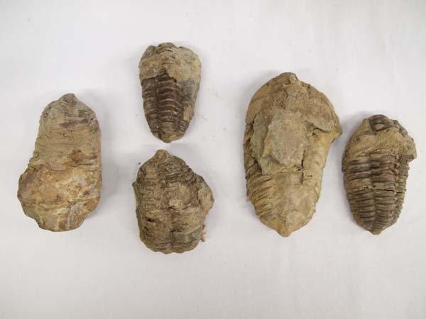 5 Natural Trilobite Fossils