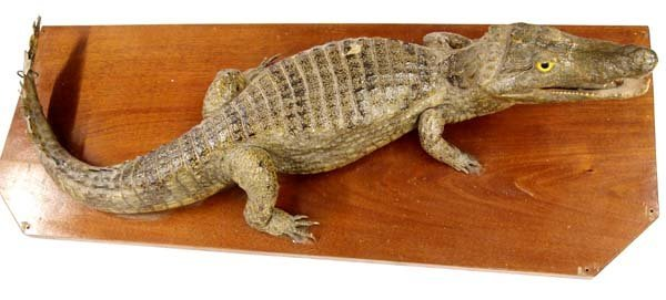 Caiman Crocodile Taxidermy, MUST BE PICKED UP