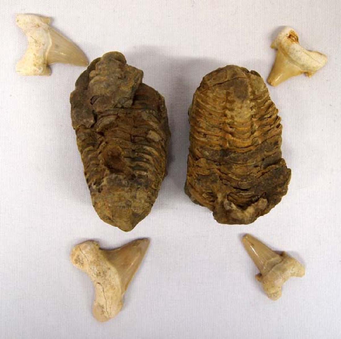 2 Trilobite Fossils & 4 Fossilized Shark's Teeth