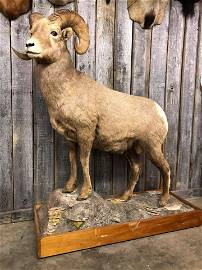 FULL BODY MASSIVE BIG HORN WITH PLUG, PERFECT CONDITION