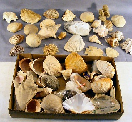 13P: Lot of misc. large seashells