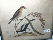 Mark Catesby Hand Colored Engraving Vol 1 #T14