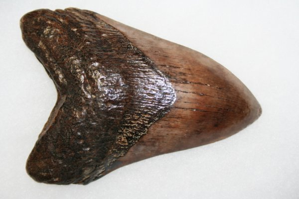 "14: MEGALODON TOOTH-5 1/8"" by 3 1/2"" Florida"