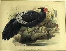 415 Large folio handcolored print of bird with chicks