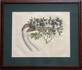 Hand Colored Etching Of Whopping Crane With Berries -