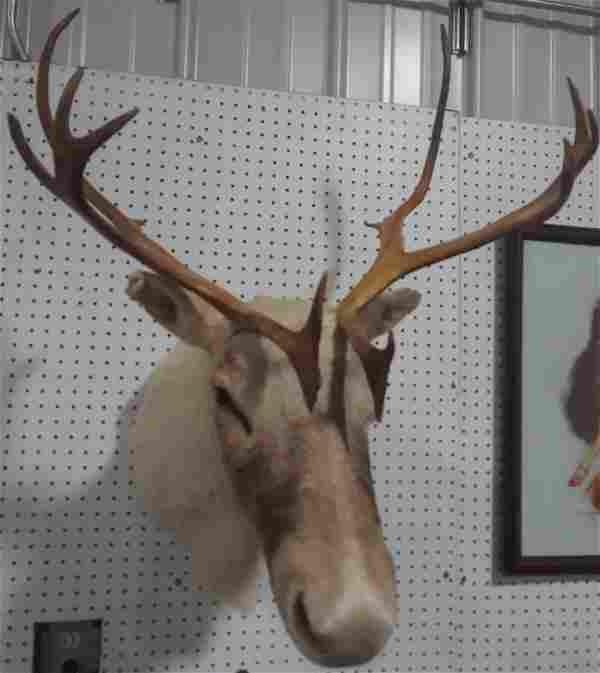 Taxidermy Caribou head