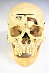 Human Medical Skull