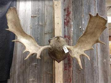 """52"""" Moose Antlers On Plaque"""