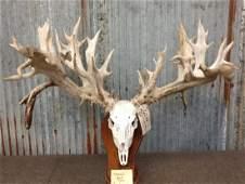 "CRAZY 395"" Whitetail Antlers On Skull"