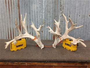 Mini monster Whitetail shed antlers