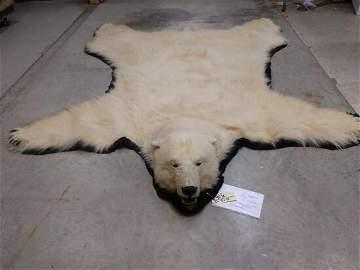 Fantastic Polar Bear Rug Taxidermy