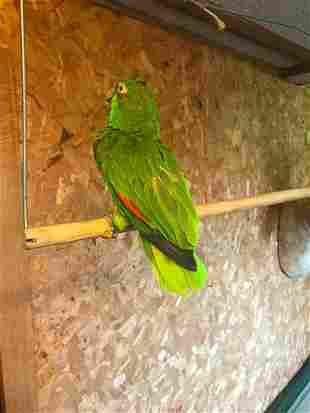 Old World Green Parrot Full Body Taxidermy Mount