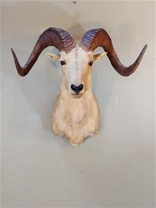 Trophy Dall sheep shoulder mount taxidermy