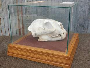 BIG Mountain Lion Skull In Glass Case Taxidermy