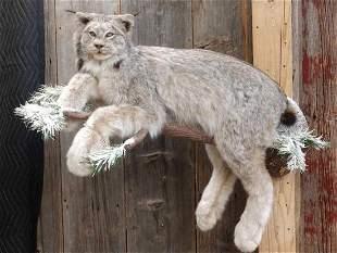 Beautiful Lynx Full Body Taxidermy Mount