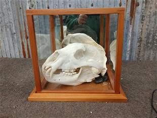 Large Black Bear Skull Taxidermy