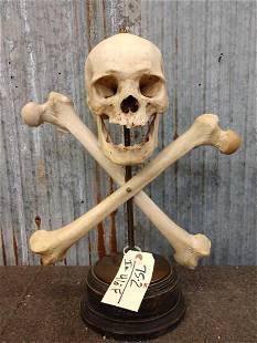 Real Human Skull & Crossbones oddities Taxidermy