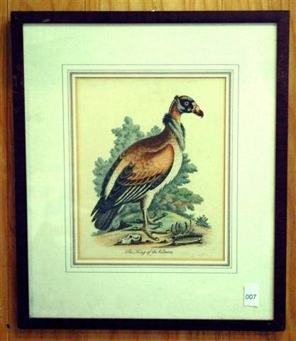 "7: Hand Colored Engraving - "" The King of  Vultures"""
