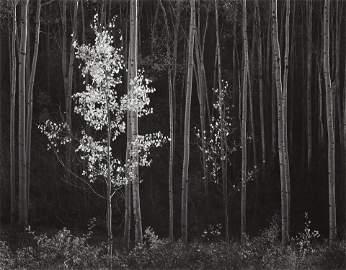 ANSEL ADAMS - Aspens, Northern NM, 1958
