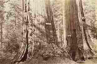CARLETON WATKINS - Old Dominion, Big Trees, California,