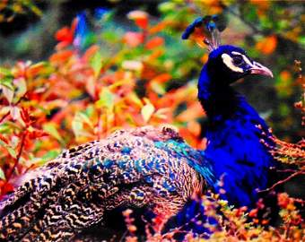 ORourke: Peacock - Limited Edition