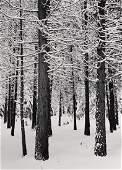 HENRY GILPIN Yosemite Trees 1965 large decor