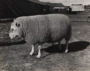 ALFRED EISENSTAEDT Champion Cheviot Sheep 1938
