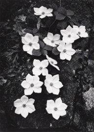 ANSEL ADAMS Dogwood Blossoms 1938 Iconic