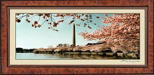 Photo of the Washington D.C. Cherry Blossom