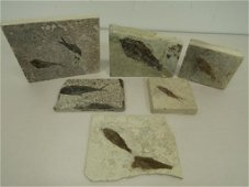 Fish Fossils - Green River Formation, WY