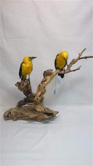 ANTIQUE TAXIDERMY OF 2 YELLOW AND BLACK BIRDS