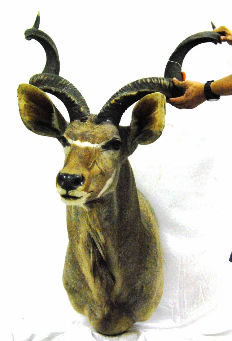 Massive Vintage African Kudu Taxidermy Mount
