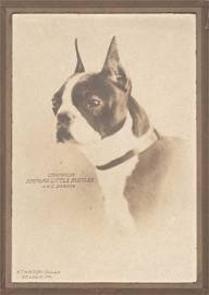 PORTRAIT OF A CHAMPION ST. LOUIS BULLDOG