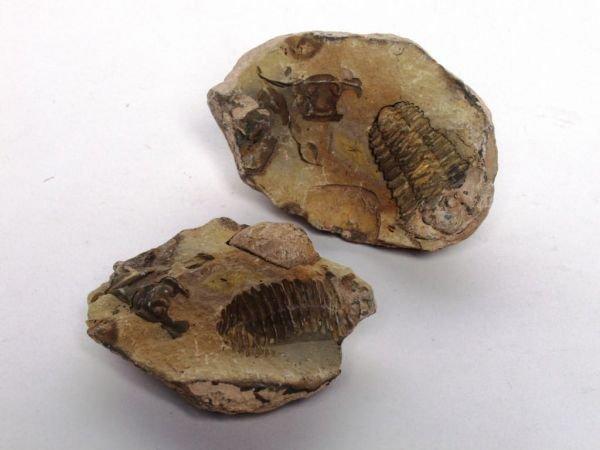 310: Fossil Nodule