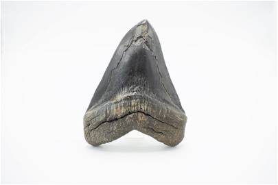 Large  Black Megalodon Tooth