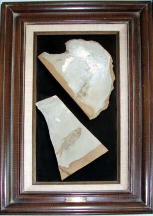 1013: Group of fish fossil. Diplomystus Humilus.