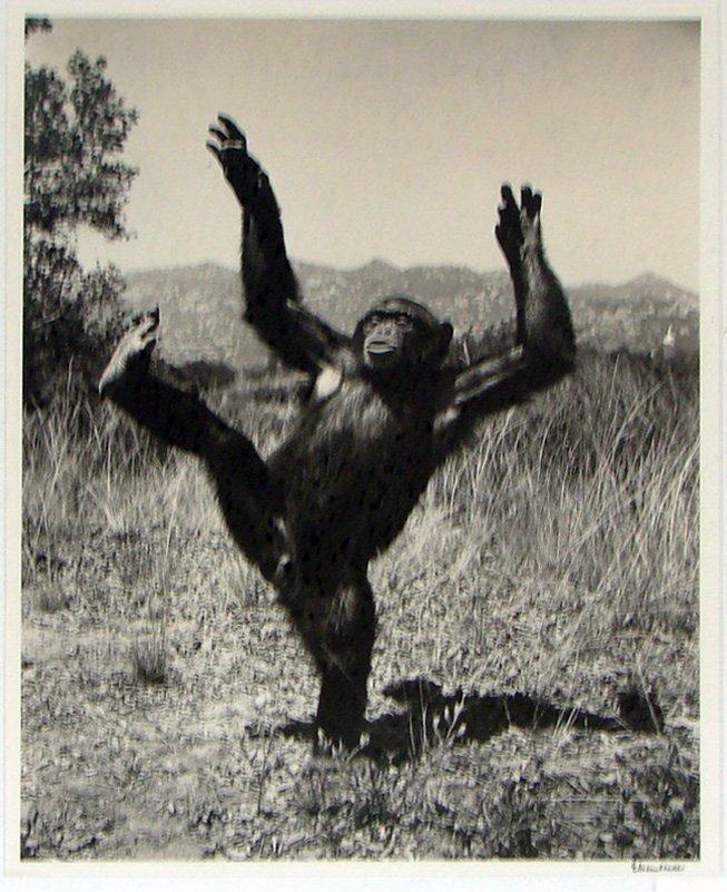 """19: ALFRED EISENSTAEDT (1898-1995) """"DANCING GORILLA."""""""