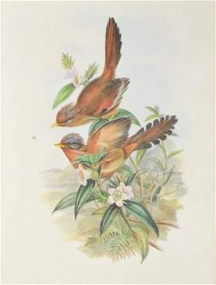 J. Gould & H.C. Richter Ornithological Lithograph