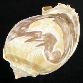 Handcarved Gastropod Shell