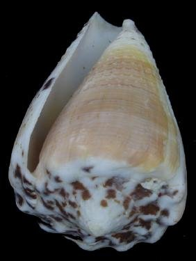 Scarce Collectible Conus Citrinus Shell