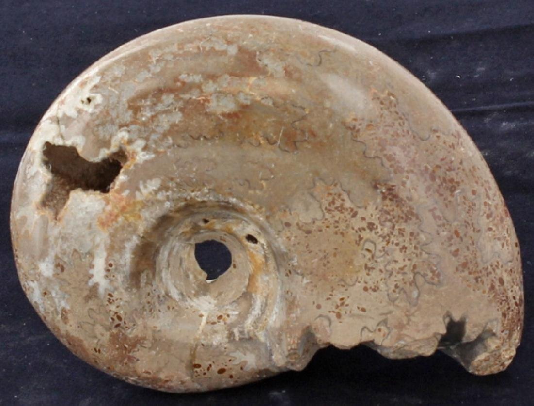 1215ct Natural Untreated Fossilized Ammonite